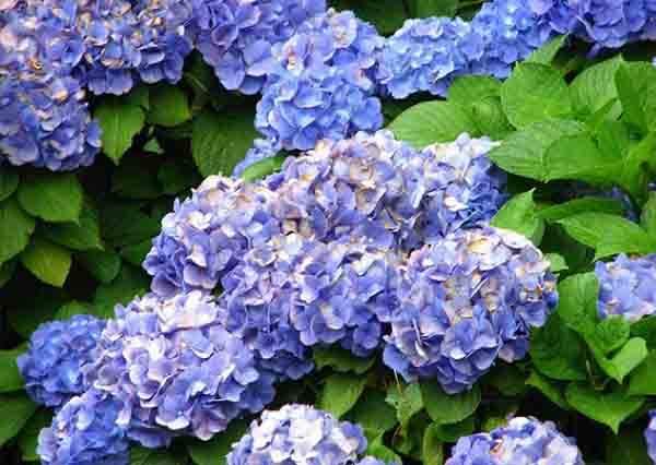 【花都開好了】全台繡球花景點大公開,有3個在台北!