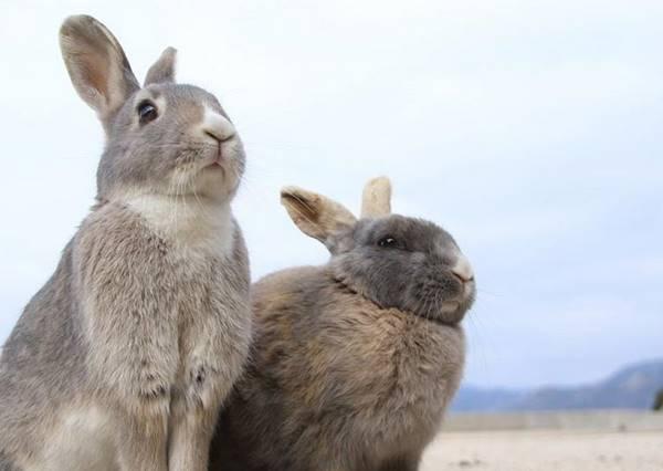 超多萌萌小毛球追著你跑來跑去的天堂—「兔島」大久野島