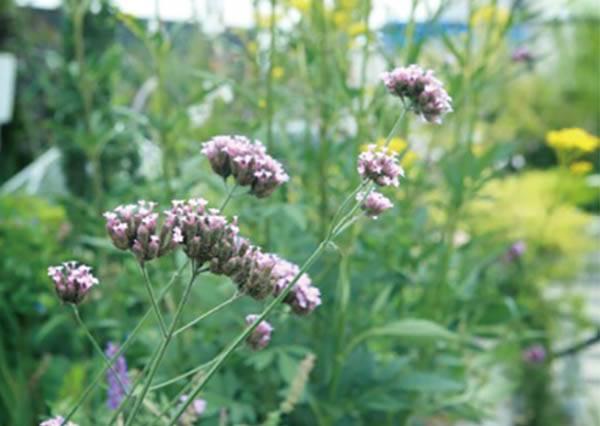 沒想到!庭院種白色和㊙色的花,也能代替綠色來消除眼睛疲勞!