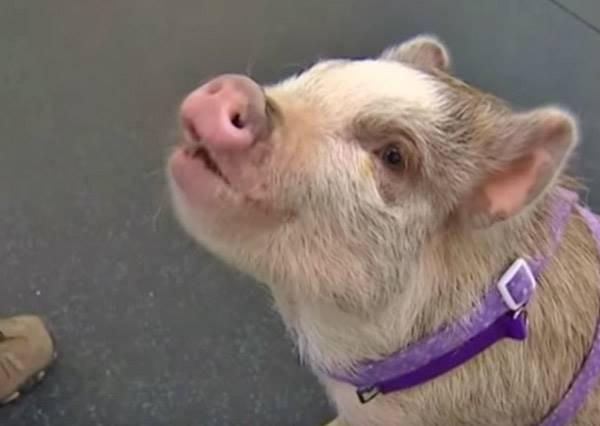別再罵人笨的像豬一樣了!狗狗訓練中心的TOP模範生竟然是隻豬?