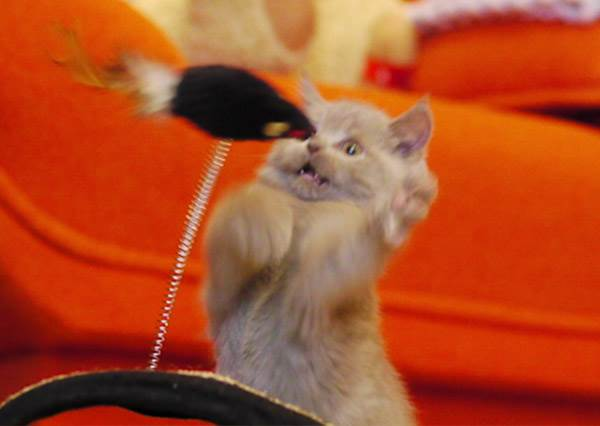 老虎不發威當我Kitty貓? 喵星人怒打拳擊老鼠hen無奈