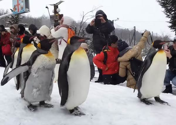 跟企鵝零距離不是夢♡北海道「推薦行程」全攻略,鮭魚卵壽司不只放好放滿還要溢出來啊~