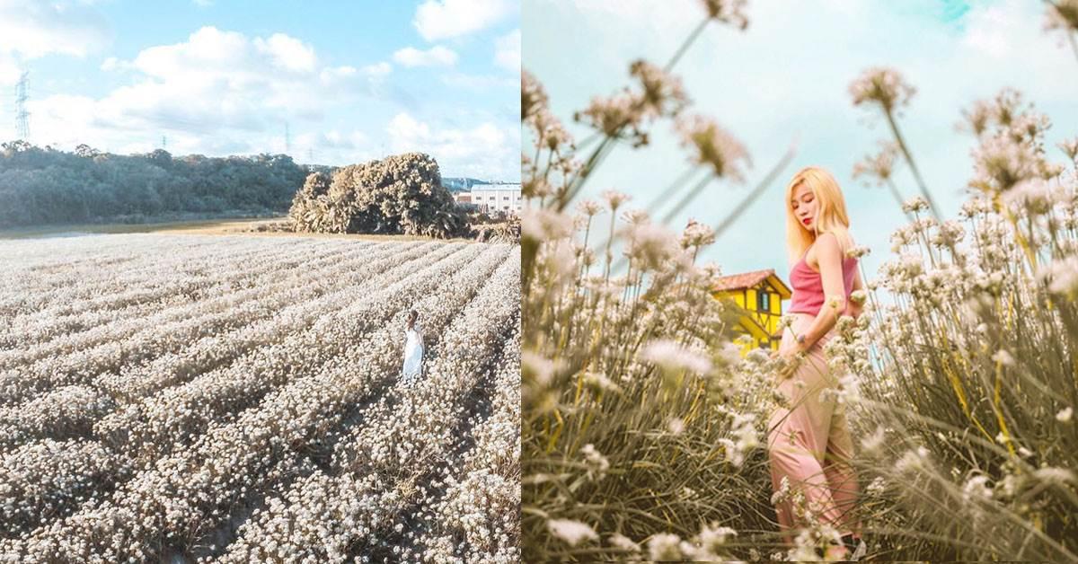 先別管五月雪了,九月雪美照拍過沒?《全台韭菜花海景點》讓你一秒瞬移到超夢幻南歐莊園!