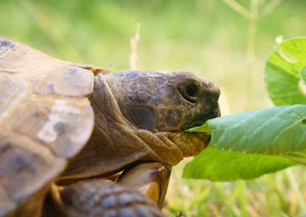 吃個飯形象也要顧好顧滿! 超療癒烏龜優雅吃蔬菜秀