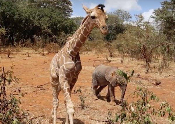 剛出生的長頸鹿和小象都失去了父母,牠們雖然沒有共同語言,卻意外成為最親密的好兄弟!