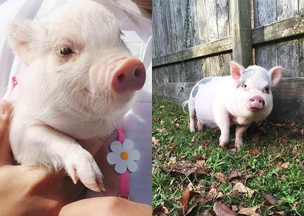 豬年看豬豬GET好運☆IG超紅「寵物豬明星」變裝賣萌無極限,一看到食物就爆衝也太Q~