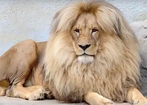 這隻獅子能當上動物園的當家台柱,就因為牠會自己偷偷保養一頭帥氣金髮!?