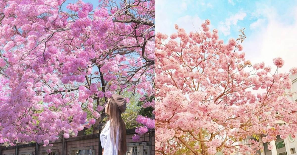 打趴日本櫻花?!全台10處「洋紅風鈴木」盛開ing,沒錢出國也能把IG變成粉紅色❤