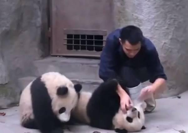 影音/「我不要啦!」 非常不想打針的熊貓們
