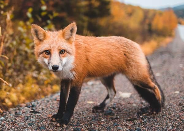 【心測】潛藏身體的「狐狸本能」!遇到喜歡的對象時,你會發動勇猛攻勢還是偷偷逼近?