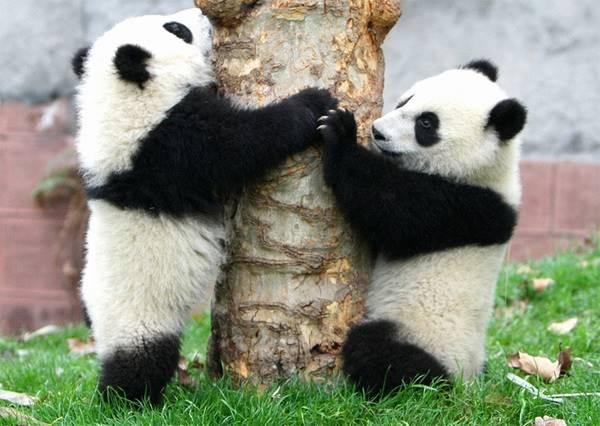 熊貓真的有功夫?最強萌主絕招大公開