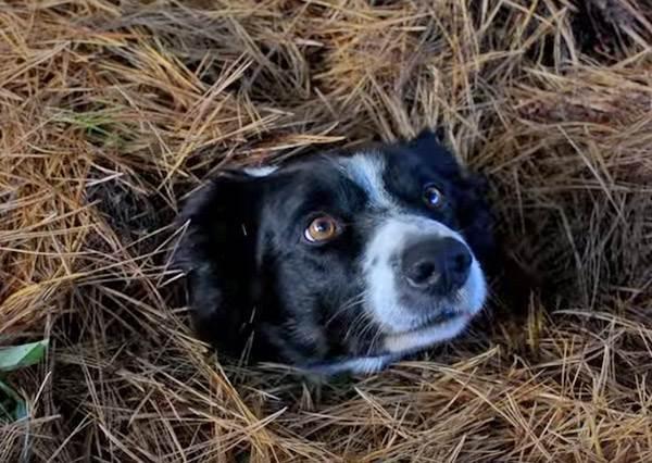 萌版《威利在哪裡》!這次你要花多少時間才能找到可愛的邊境牧羊犬?