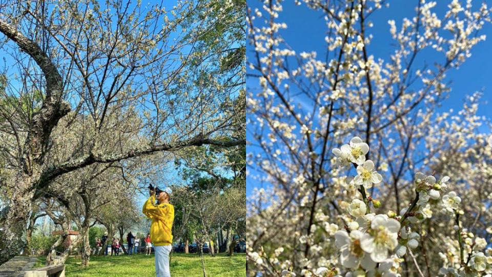 #桃園角板山公園,除了賞梅也可以賞櫻喔!