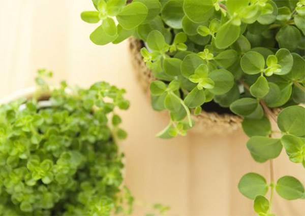你家最急需的2種室內植物!形狀可愛有療癒身心功能,重點是在冬天也超好種!