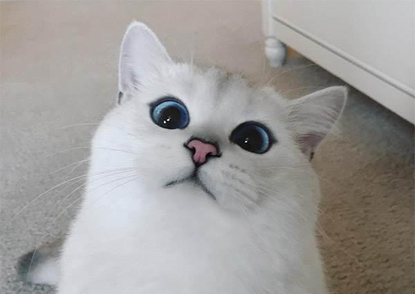 【藍色魅眼白貓咪─Coby The Cat】藍寶石一般的深邃藍眼睛,好像要把人給吸進去了!!