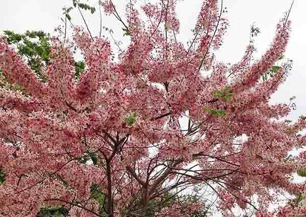 四月也能感受粉紅花海?台灣三大花旗木賞花景點,讓你忘記賞櫻撲空的傷心事!
