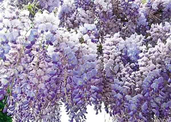 紫色流蘇瀑布超壯觀!絕不能錯過的台灣紫藤花海三大名所