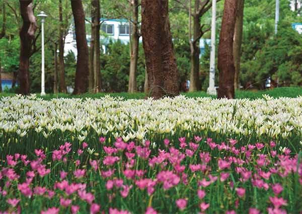 一下雨就會開花的神奇植物! 千朵「小韭蘭」上演奇景給你看~