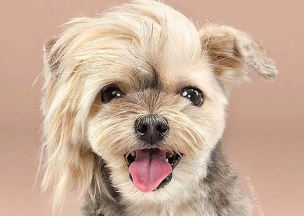 髮型果然很重要!連汪星人也難逃凌亂髮型的捉弄,尤其貴賓狗前後照根本是不同隻啊!
